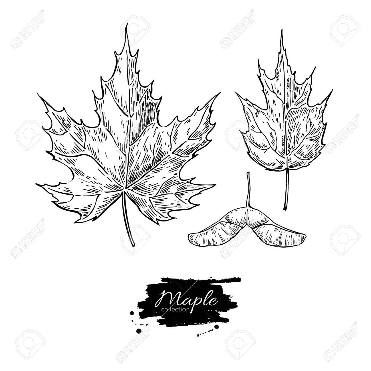 1300x1300 Vector Maple Leaves And Seed Drawing Set. Autumn Elements. Hand
