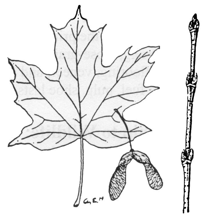 728x784 Leaf Drawing Wheelers Maple Products