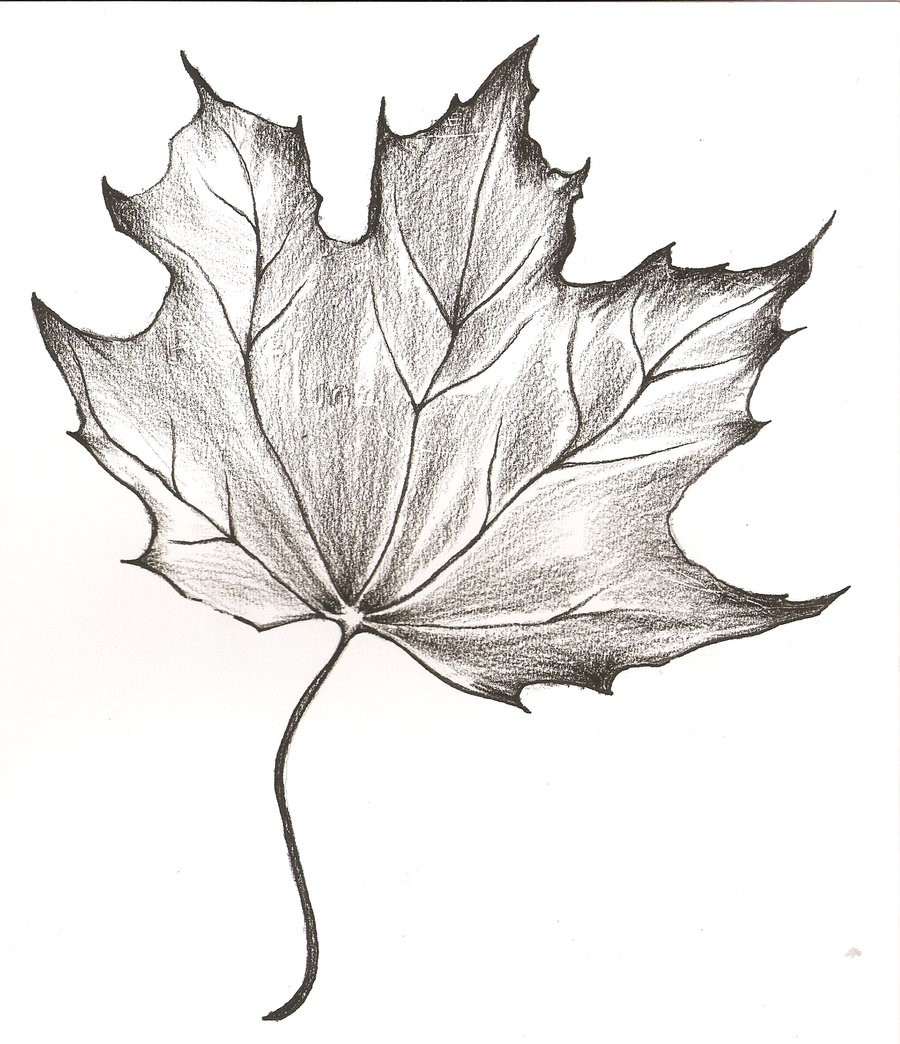 900x1044 A Drawing Of A Leaf Maple Leaves Pencil Sketch Illustrations