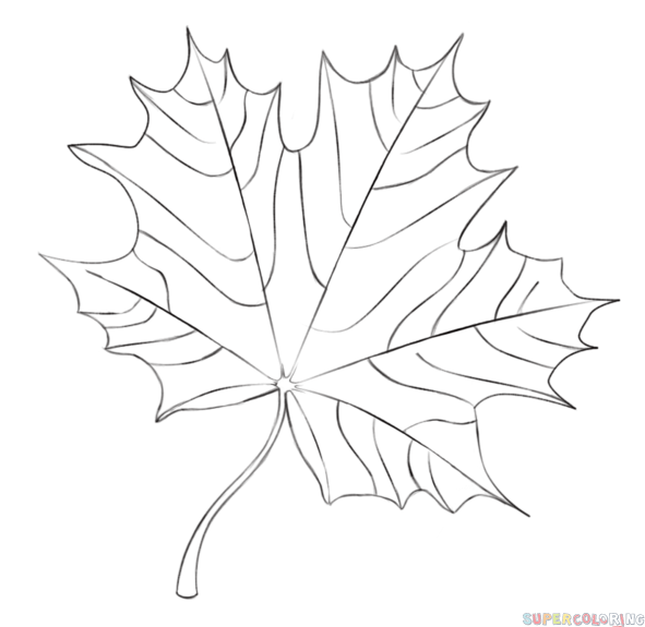 591x575 How To Draw A Maple Leaf Step By Step. Drawing Tutorials For Kids