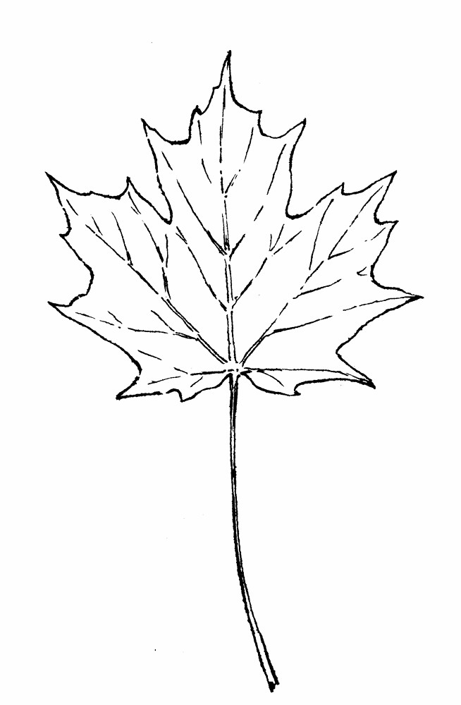 654x1000 Image Result For Simple Maple Leaf Drawing Tattoos