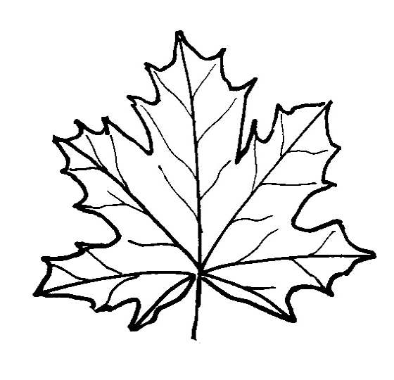 560x540 Fundamentals Maple Leaf Coloring Page Pages