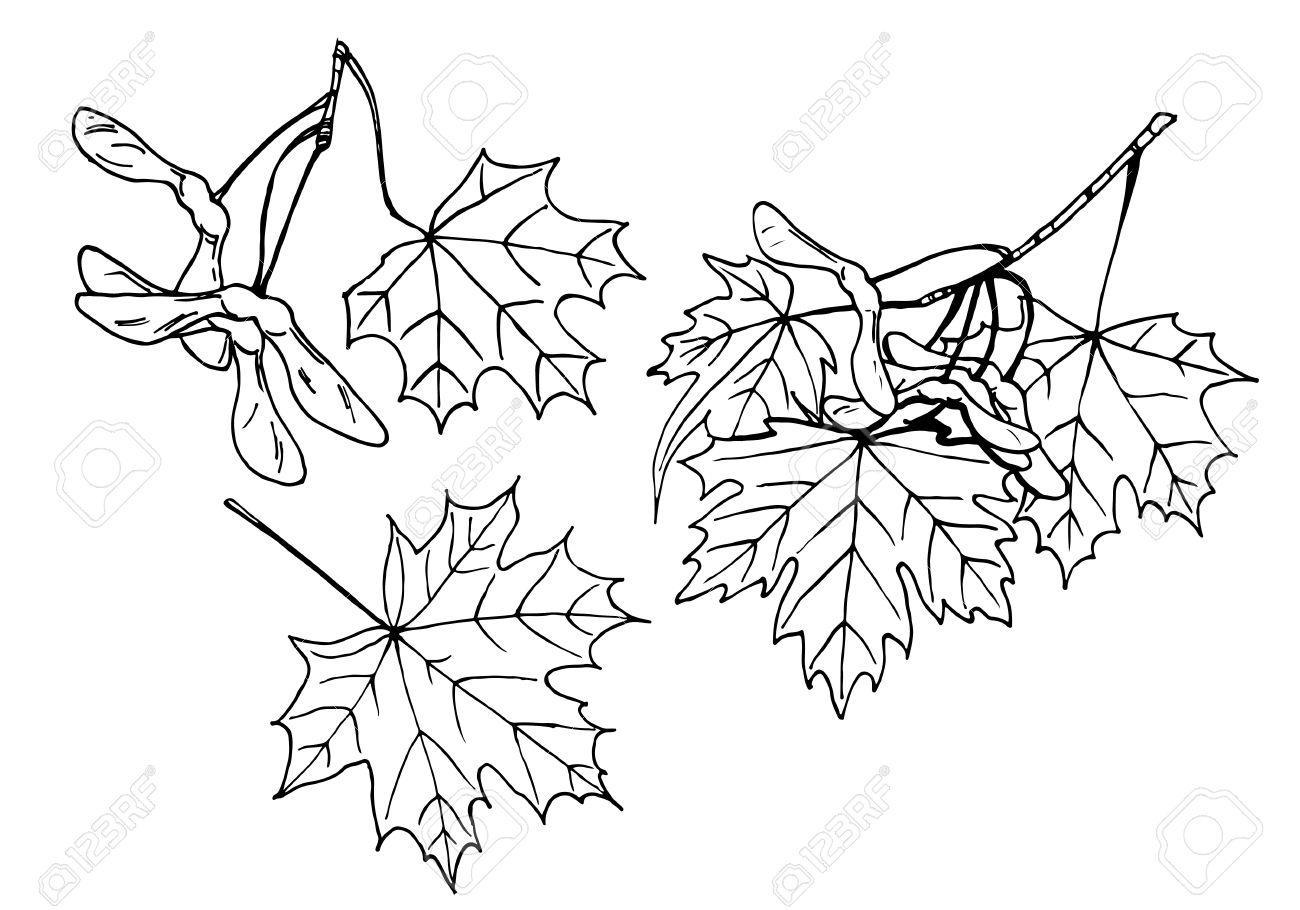 1300x910 Lineart Design Elements Leaves And Fruits Of Maple Tree Royalty