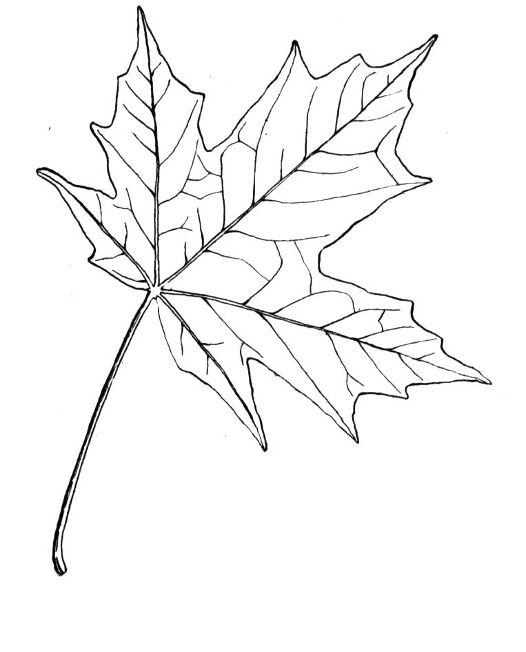 Maple Leaf Line Drawing at GetDrawingscom Free for personal use