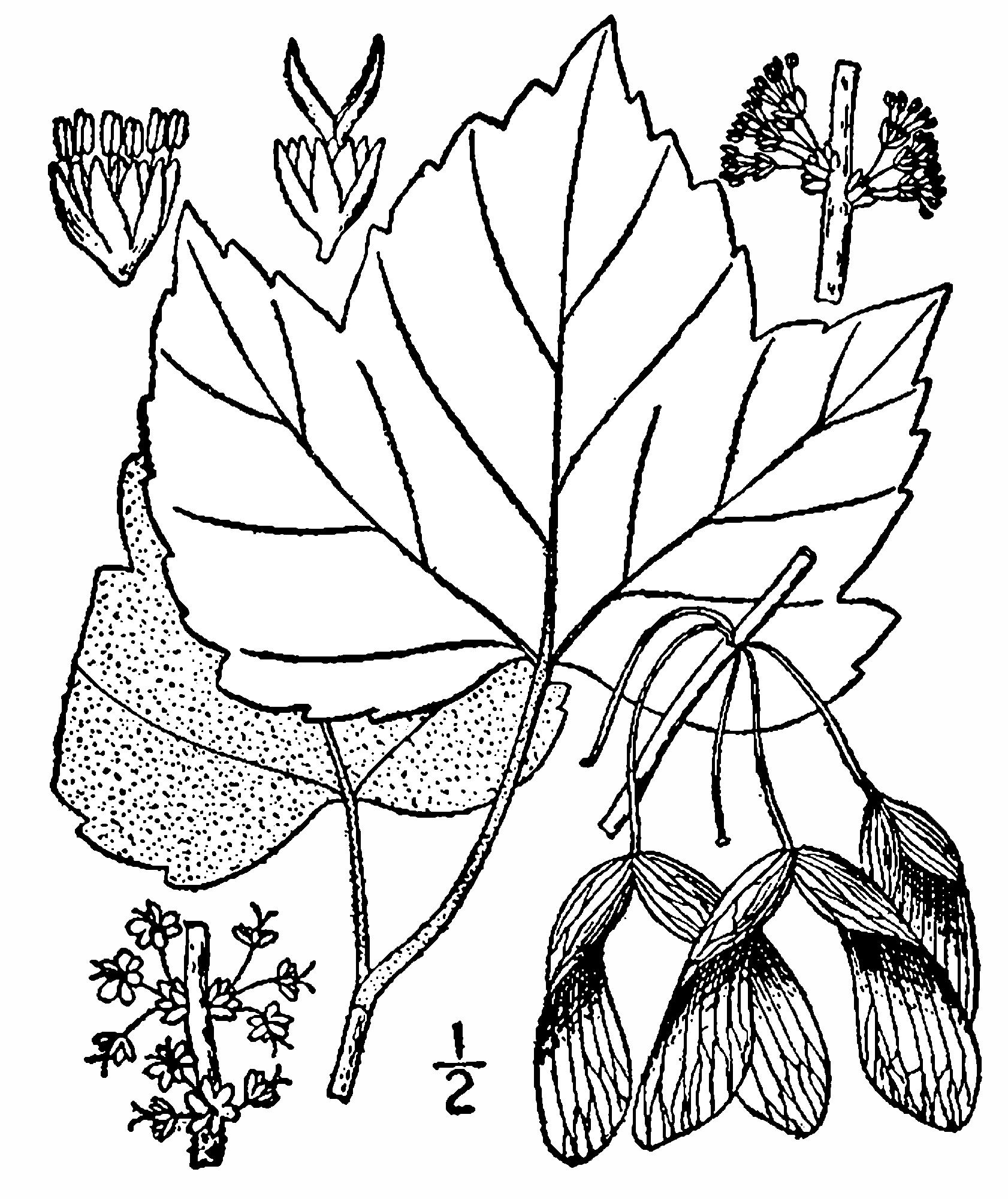 1682x2000 Fileacer Rubrum Drummondii Drawing.png