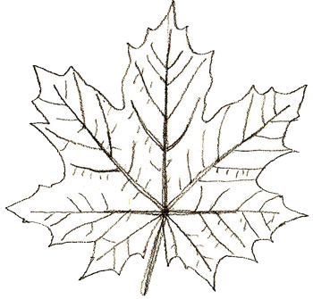 350x335 How To Draw Maple Leaves