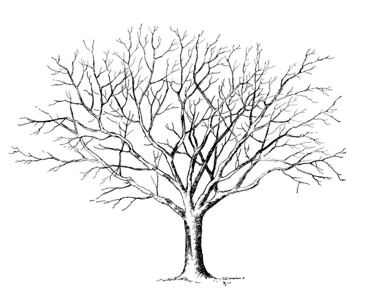1264x1008 Maple Tree Line Drawing Outdoors Tattoo