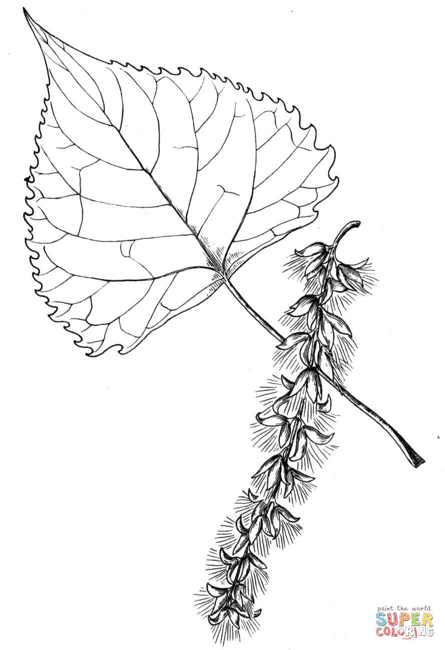 889x1297 Cottonwood Tree Leaf Coloring Page Free Printable Coloring Pages