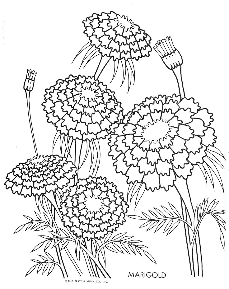 736x929 Marigold Coloring Pages