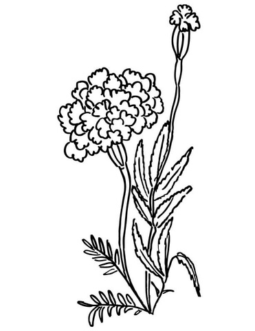 371x480 Marigolds Coloring Page Free Printable Coloring Pages