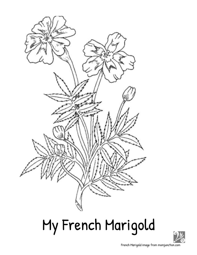 638x826 My French Marigold Story Seed Saving Lesson, Mini Books, Coloring