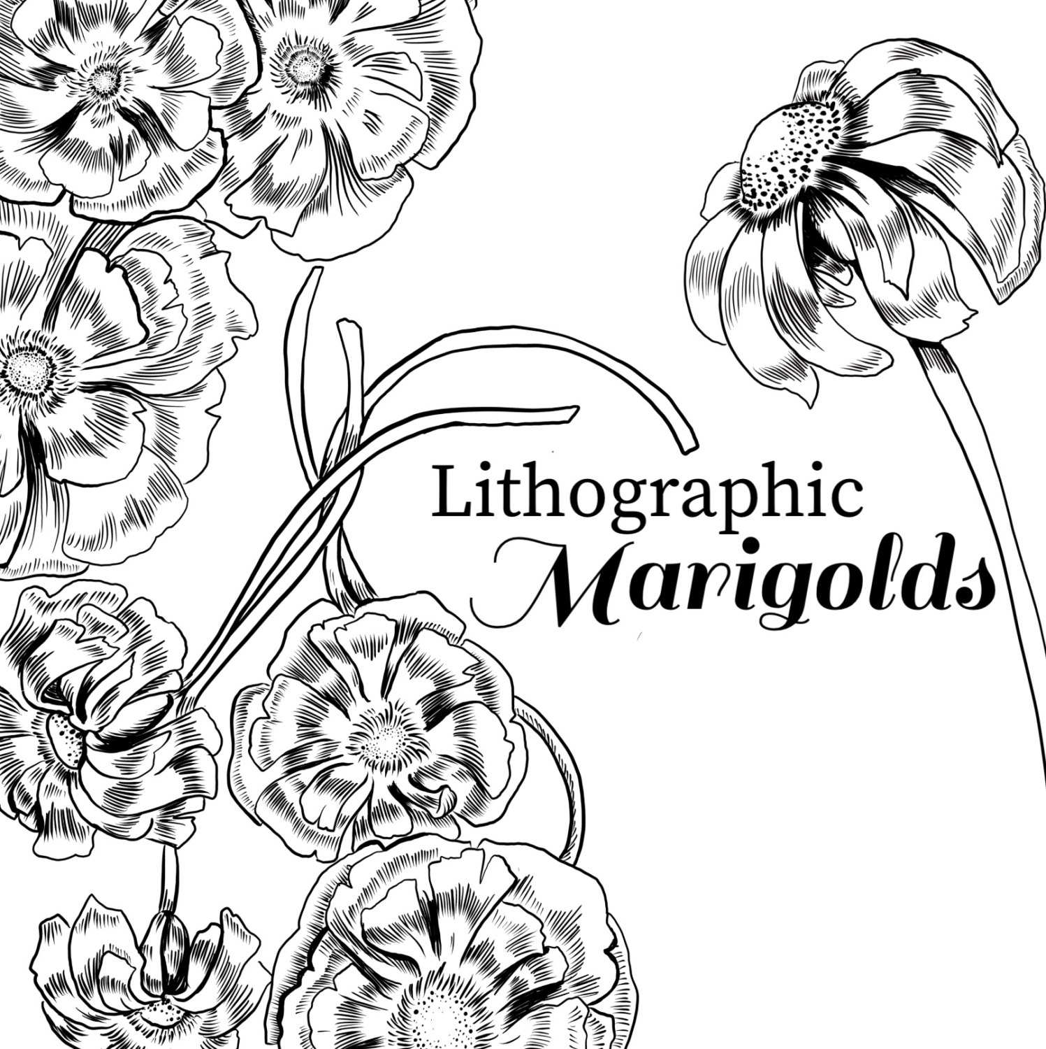 1497x1500 Ink Drawing Marigold Marigold Clipart Black And White