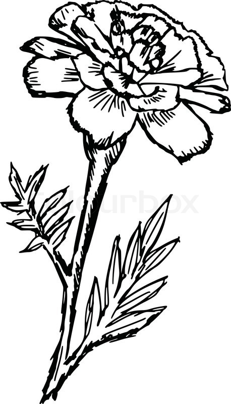 Marigold Drawing At GetDrawings.com | Free For Personal Use Marigold Drawing Of Your Choice