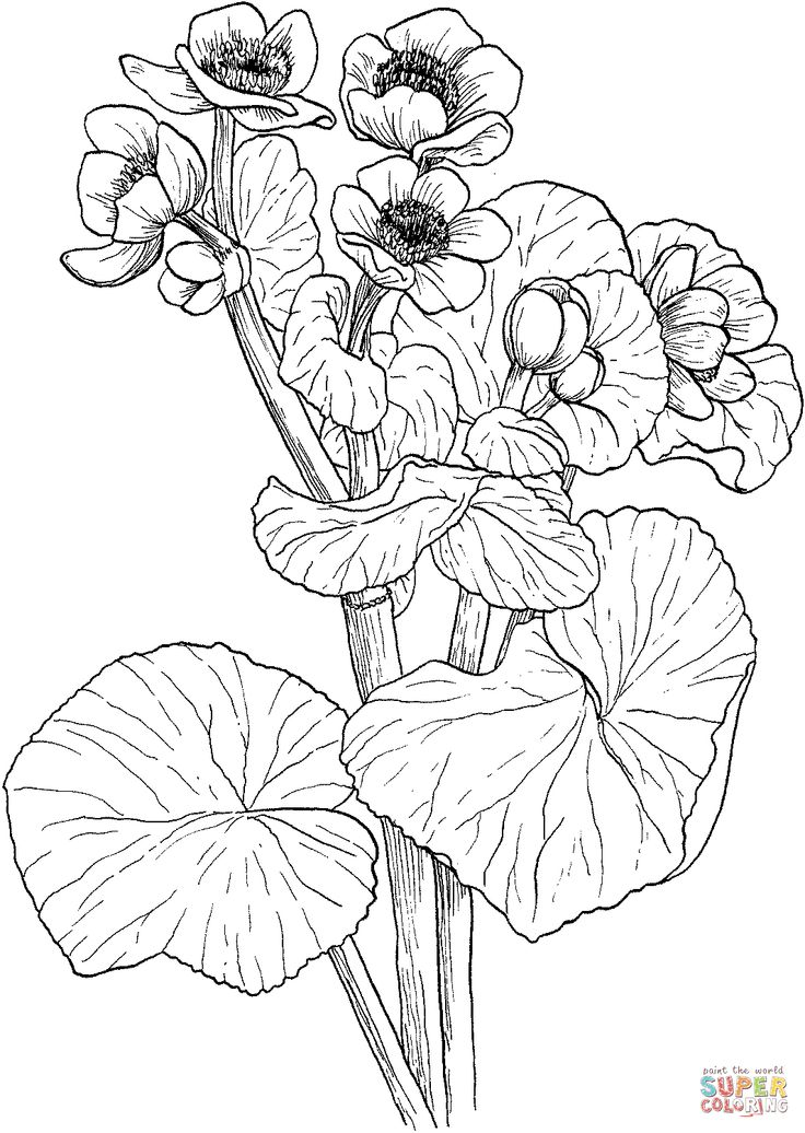 Marigold Flower Drawing