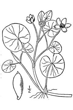 240x360 Caltha Natans Floating Marsh Marigold Pfaf Plant Database