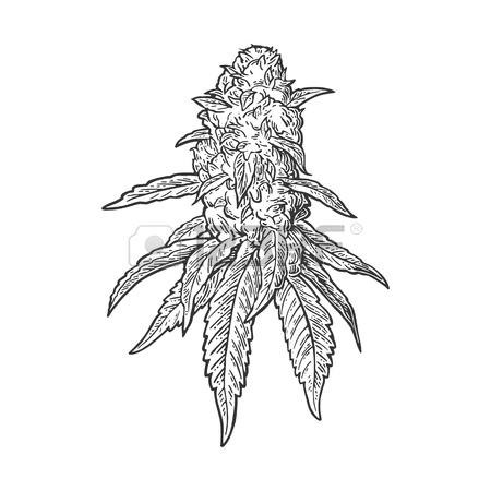 450x450 Marijuana Mature Plant With Leaves And Buds Cannabis. Hand Drawn