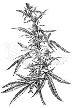 236x348 Marijuana Art Drawings Weed Plants Drawings Young Cannabis Plant
