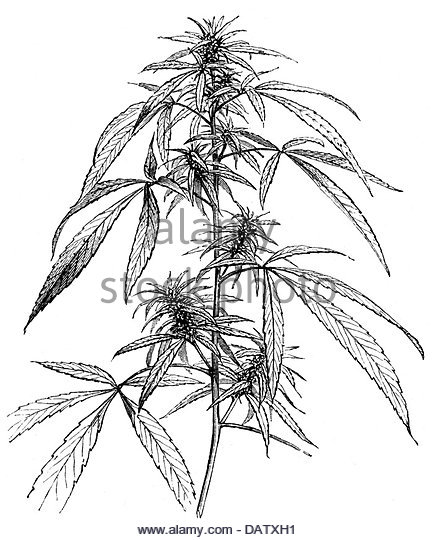436x540 Botany, Hemp (Cannabis), Feminine Plant, Blossoms, Roots And Seed