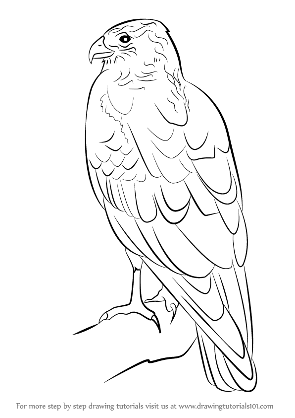 596x842 Learn How To Draw A Marsh Harrier (Bird Of Prey) Step By Step