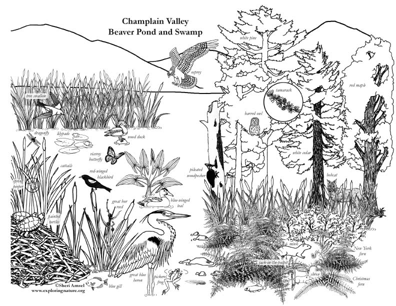 792x612 Marsh Habitat Coloring Page Wetlands Habitat Coloring Page