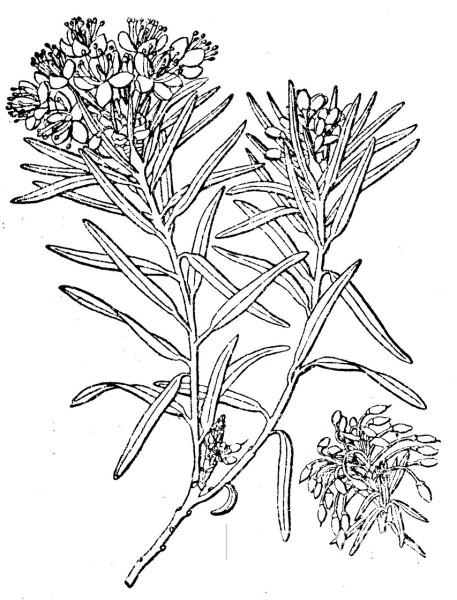 457x600 Marsh Labrador Tea (Rhododendron Tomentosum), Illustration