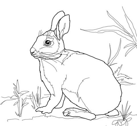 480x442 Cottontail Marsh Rabbit Coloring Page Free Printable Coloring Pages