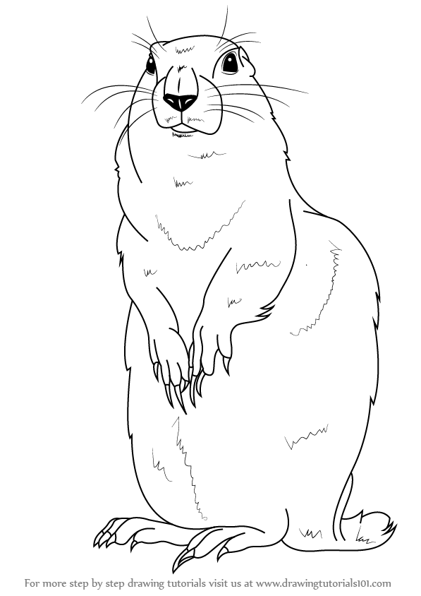 597x844 Learn How To Draw An Arctic Ground Squirrel (Other Animals) Step