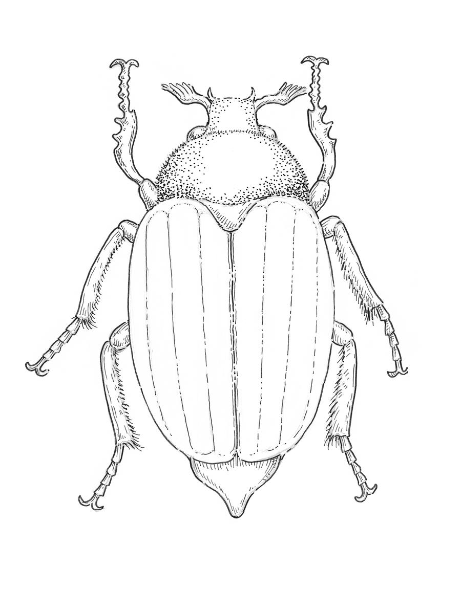 900x1153 May Bug Drawing Eugenia Hauss