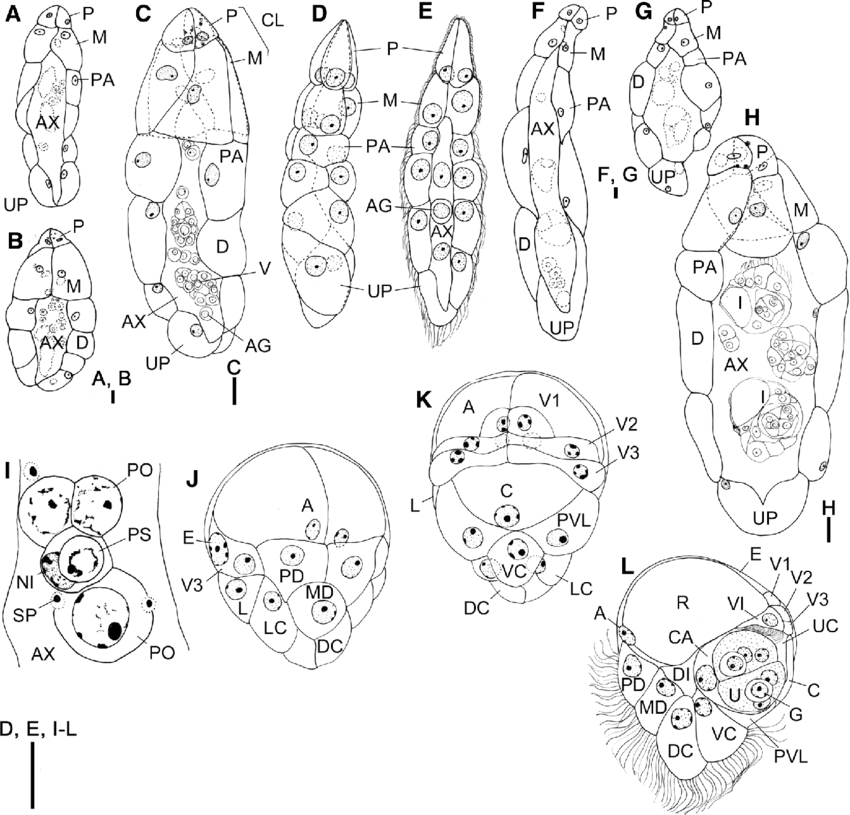 850x815 Line Drawings Of Dicyema Mexcayae N. Sp. From O. Maya.