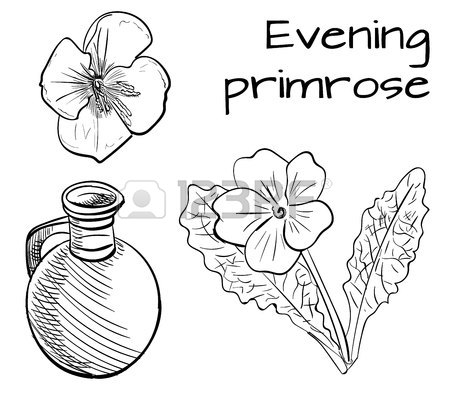 450x398 Medical Herbs Evening Primrose. Vector Illustration. Colored