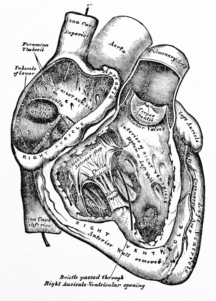 734x1024 Antique Medical Illustration Human Heart Stock Photos