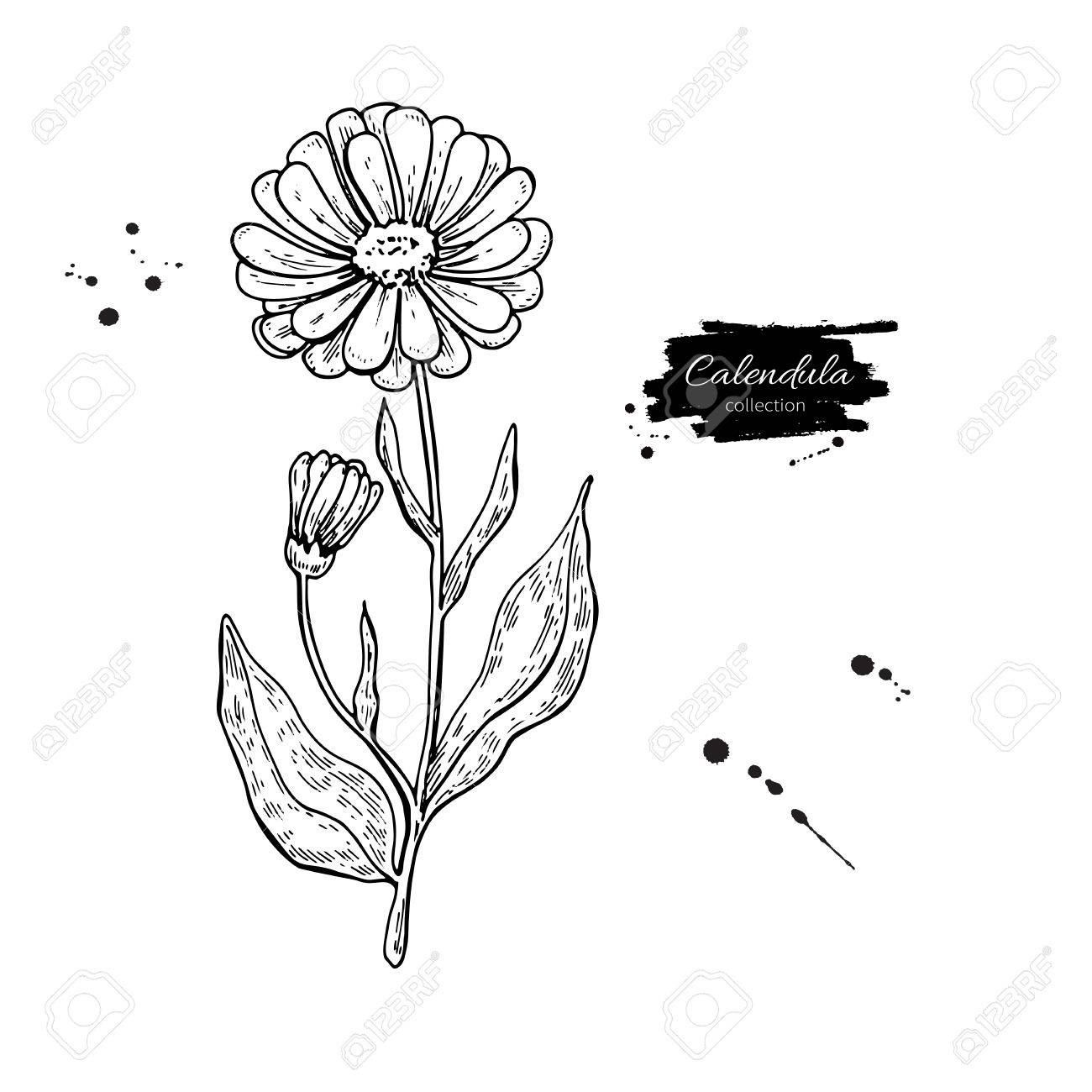 1300x1300 Calendula Vector Drawing. Isolated Medical Flower And Leaves