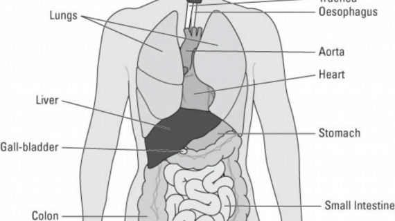 570x320 Outline Of Human Body Internal Organs