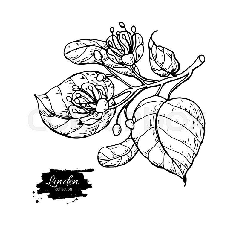 800x799 Linden Vector Drawing Set. Isolated Lime Tree Flower And Leaves