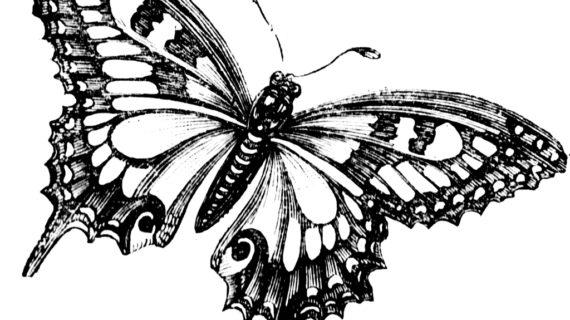 570x320 Monarch Butterfly Line Drawing Butterfly Full Span Drawings