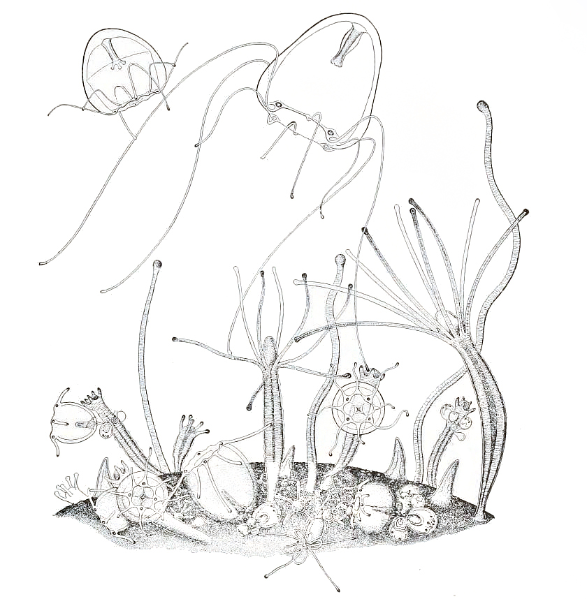 840x858 Filememorial Pamphlet Containing Certain Drawings Of Medusae Fig