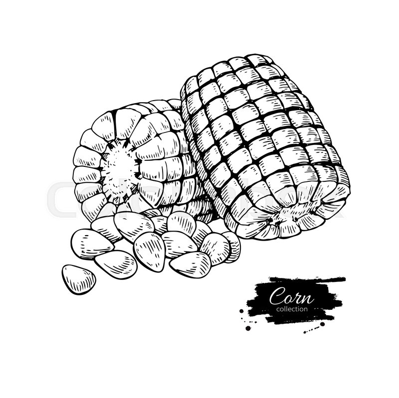 800x799 Corn Hand Drawn Vector Illustration. Isolated Vegetable Engraved