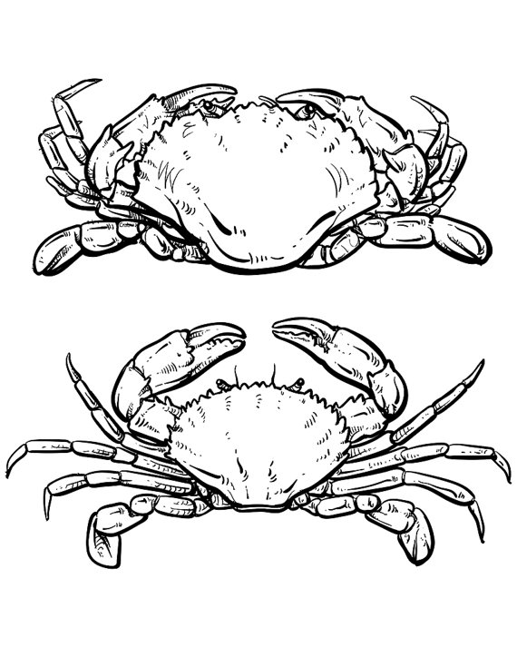 570x713 Vector Crab Drawing. Hand Drawn Outline Seafood Illustration