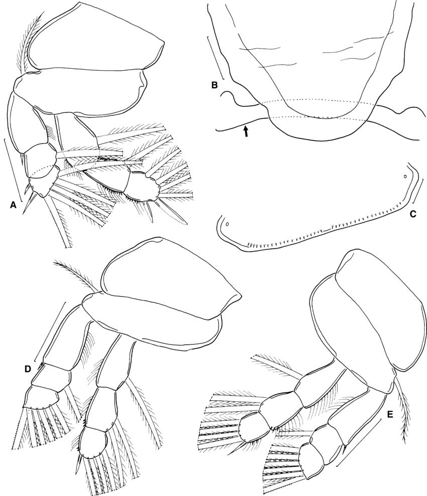 850x989 Majalincola Buthi N. G., N. Sp., Late Metamorphic Female. A, Leg 1,