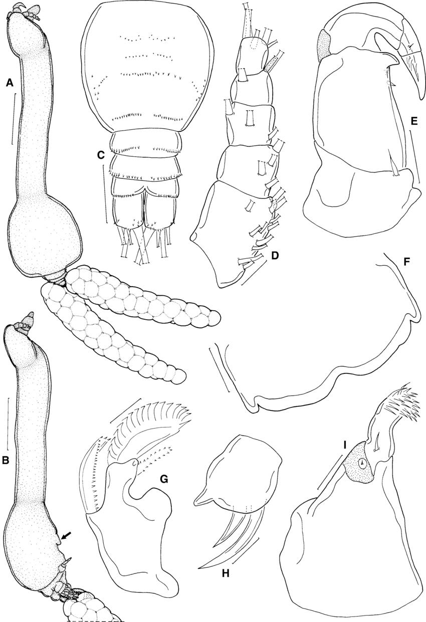 850x1241 Majalincola Buthi N. G., N. Sp., Late Metamorphic Female.