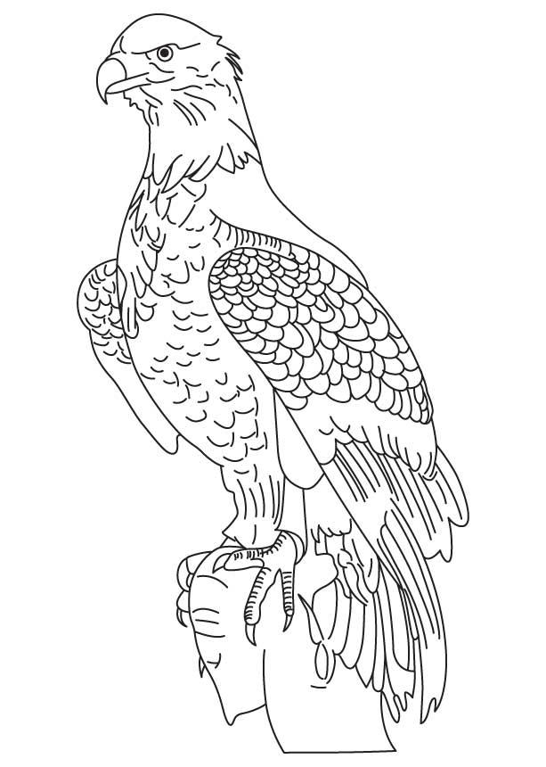 613x860 Drawn White Tailed Eagle