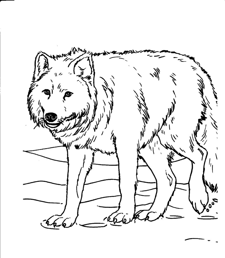 900x1030 realistic wolf coloring pages preschool to cure print printable
