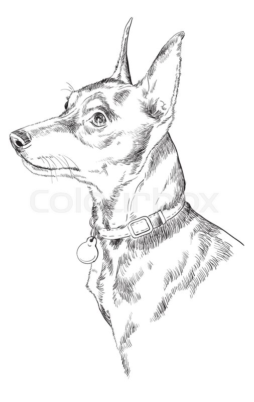 506x800 Miniature Pinscher Vector Hand Drawing Illustration In Black Color