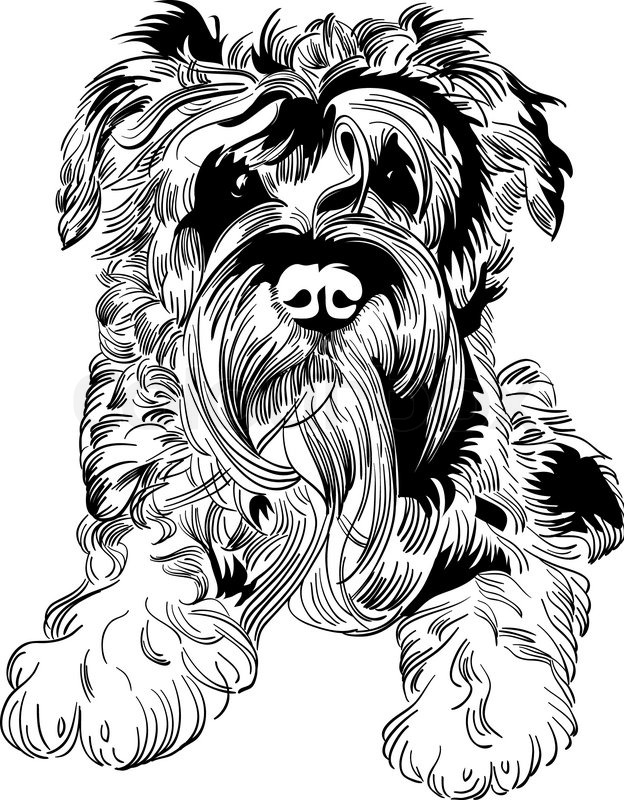 624x800 Sweet Dog Miniature Schnauzer Breed Hand Drawing Vector Stock