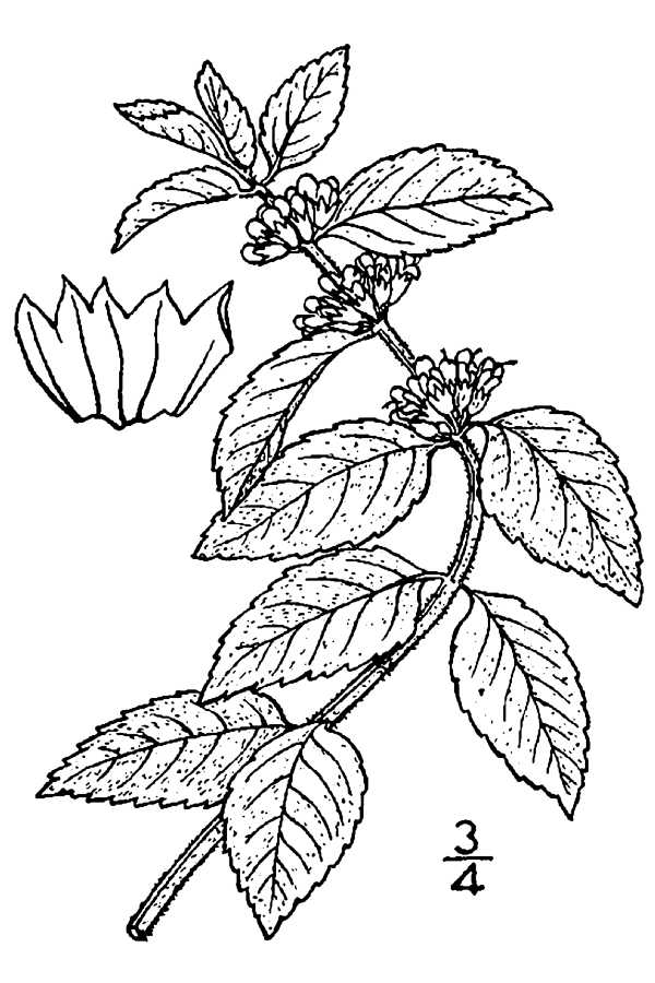 600x900 Large Line Drawing Of Mentha Arvensis Gardening Mint