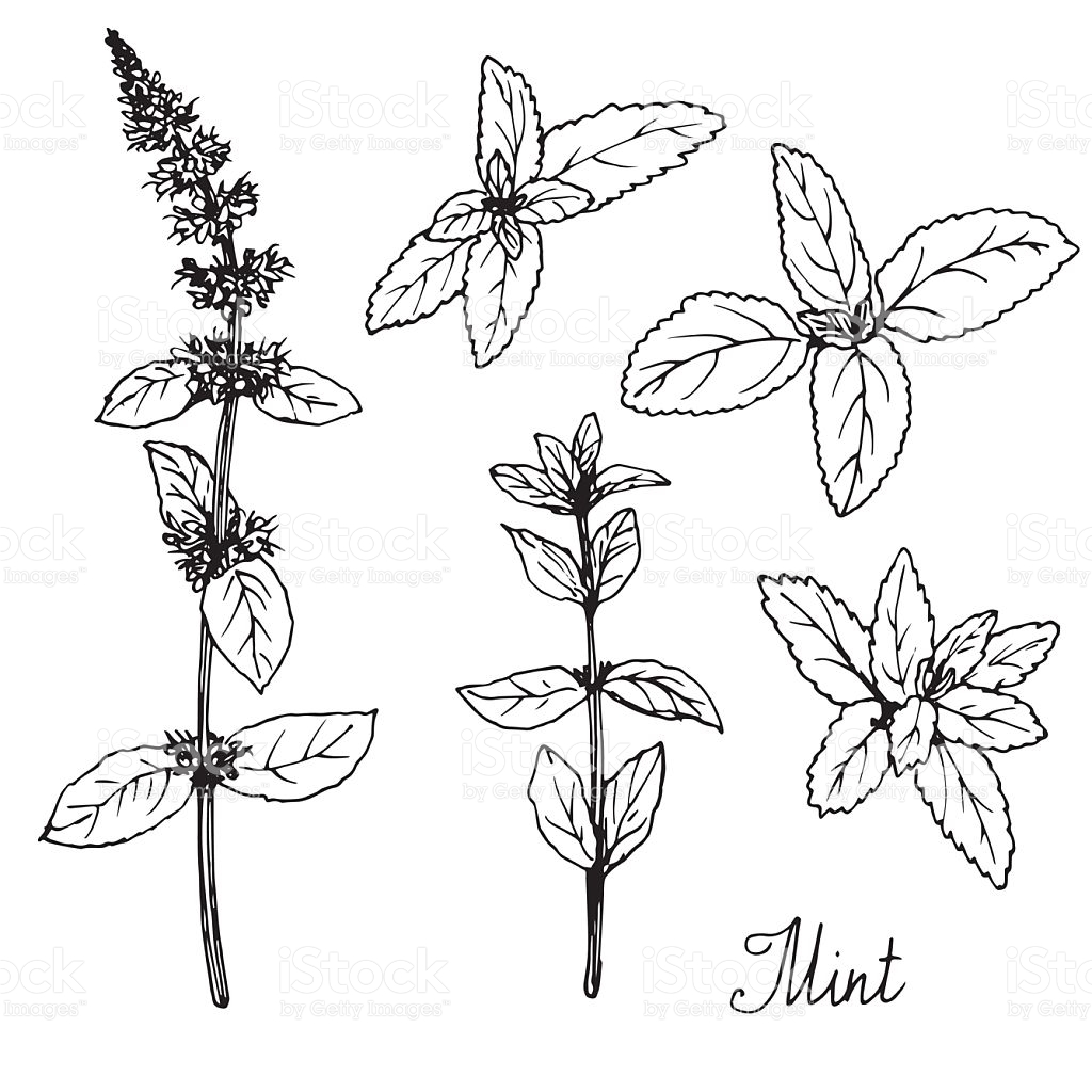 1024x1024 Hand Drawn Mint Plants, Sketch Vector Illustration Hand Drawn