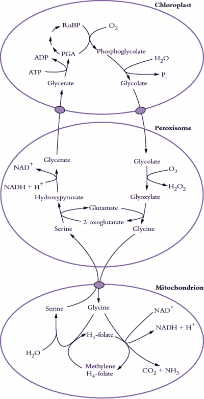 Mitochondria Drawing