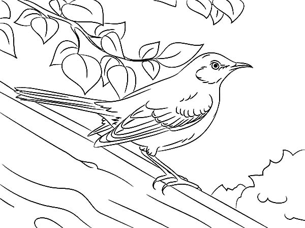 600x448 Drawing Northern Mockingbird Coloring Pages Color Luna