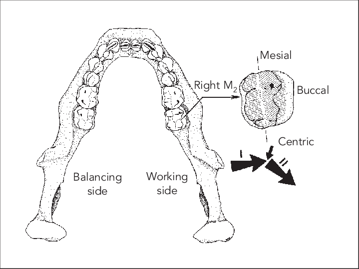 Molar Drawing