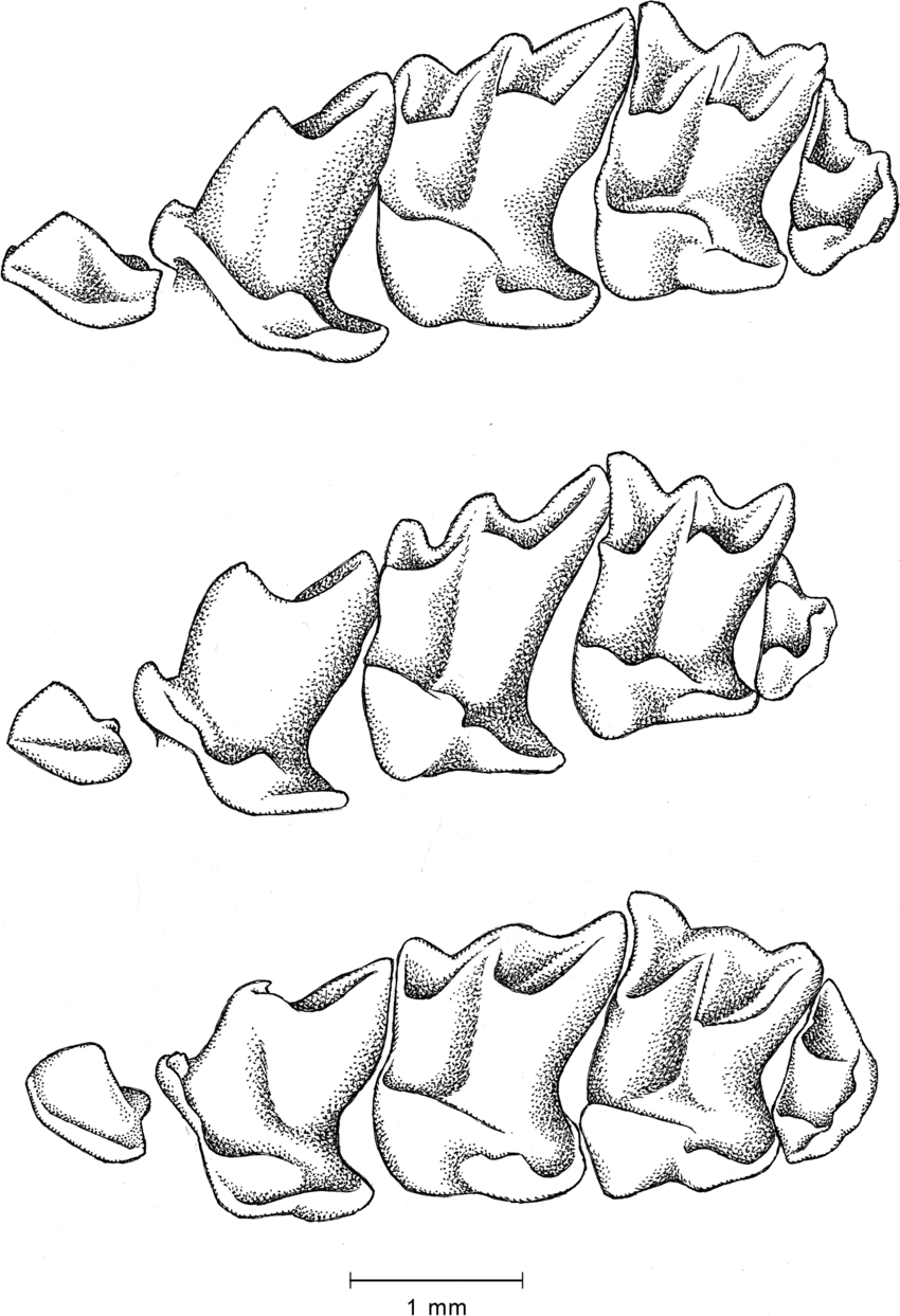 850x1243 Lingual View Of Left Upper Tooth Rows From Third Unicuspid To Third